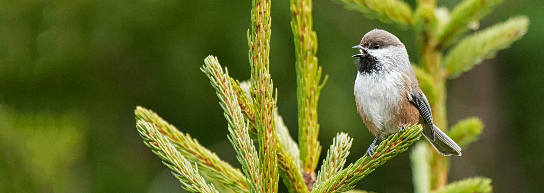 Boreal Chickadee Katahdin Woods and Waters National Monument by Anita Mueller
